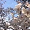 【汝矣島】韓国でお花見しました