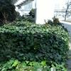 緑化でよく見るツタは生命力強し