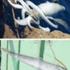 【地震前兆】7月4日に松江市島根町沖の定置網に『リュウグウノツカイ』がかかる!6月末には隠岐の島町で『ダイオウイカ』が漂着!科学的には迷信という扱いだが、どちらも地震の前兆という説もあるだけに要警戒!!
