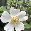 ドッグローズの開花!庭の植物たちの移り変わり。洋ランなど。アゲハチョウの幼虫(虫が嫌いな人は注意!)