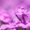 芝桜が咲き乱れる花のじゅうたん