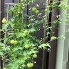 4-122   愛すべき花たち〜フウセンカズラの種の収穫も間近!?〜