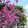 〈YMH〉沖縄はもう春でした
