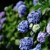 【スナップ】飛鳥山公園紫陽花【α7II、FE85mm F1.8】