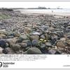 山の自然学カレンダー2020 9月・気仙沼・お伊勢浜海岸に定着したハマニガナ