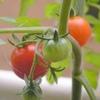 梅雨の風景 | トマトを育てています