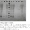 タンパク質の単離精製  レポート