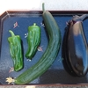 夏野菜初めての収穫