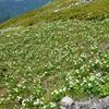 植物と友達になろう! VOL.13 「ハクサンイチゲ」