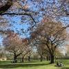 ドイツの桜の木の下で