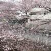 桜の便り①