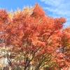 相模原市 中央区 富士見地区の紅葉 (12月4日現在)