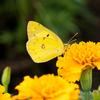 モンキチョウ・・・草原を黄色く彩る可憐な蝶