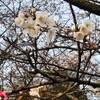 3/18朝のお散歩~桜の開花とプチつぶやきタイム