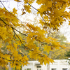 【一日一枚写真】金色の銀杏並木道 Part.2【一眼レフ】