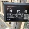 静岡市静岡県庁南の桜「神代曙」