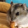 ジャンガリアンハムスターを飼い始めて2年がたちました。