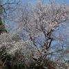 六甲山系)五助ダム→打越峠→金鳥山→保久良梅林。桜はところどころ。金鳥山の桜はまだ。野鳥、シメ。