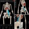 コアの筋肉。大腰筋後部繊維