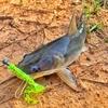 【ルアーで釣れるはじめましての魚たち】カンボジア・シェムリアップの川で釣りをしよう!ポイント・釣り場まとめ