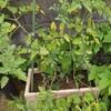 ミニトマトを低コストで安定収穫