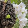 息子16歳がスマホ (iPhone 11) で撮った,春の写真を見てください!