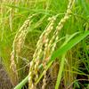 収穫間近の稲と田んぼ