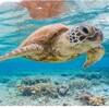 プラスチックまみれの海に暮らすウミガメたち わずかプラスチック片一個の誤飲で致死率が2割高まる