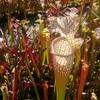 北川村の食虫植物栽培。