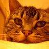猫紹介 アメリカンショートヘアのアルの話なの 人生を変えてくれた猫
