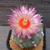 淡いピンクのメタリック花