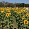 乾季に満開となる向日葵が素敵!我が子の誕生日にワチラベンチャタット公園に行ってきました。