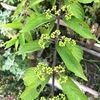 シソ、ハナニラ、ムラサキシキブが咲く実家の庭で