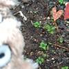 オナゴの憧れ、家庭菜園❤🌱(・Θ・)