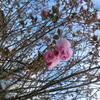 藻器堀川放水路の桜