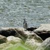 初めての野鳥公園とササゴイ(東京港野鳥公園 2021/07/10)