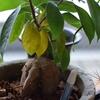 今年もガジュマルの下の葉が黄色くなってきました。