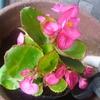 新しい花もやってきた・・・ベゴニアとマツバボタン!