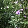 """今年の気候は,""""例年""""とは,かなり違っているように思います.我が家の庭の花は,秋の遅れを証言.クジャクアスターは,現在,三分咲き.フジバカマは見頃ですが,七分咲き.パイナップルセージが最も遅れていて,まだチラホラ.それでも,一応,三種咲きそろって,秋だな〜と言える庭になりました."""
