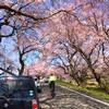 桜を辿りに。。 木曽川堤から新境川堤へ