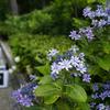 三室戸寺の紫陽花と蓮