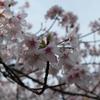 さくら サクラ 桜