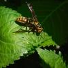 庭の住人  & 来客 アブとハナバチとアシナガバチ