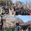 上野公園、お花見🌸🌸🌸