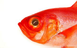 魚の網膜再生メカニズム、人類に応用可能?