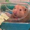 ペットのハムスターが腎不全により永眠しました
