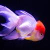 金魚は青空を食べてふくらみ・桜間中庸:自由にイメージをめぐらせて楽しめる詩