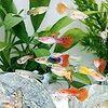 特に色が綺麗な熱帯魚8選! 小型カラシンから中型魚まで!