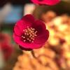 真っ赤で円弁で花弁の厚い標準型三段を作りたい