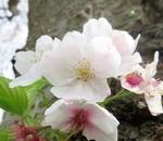 満開の神奈川県の桜!!花散らしの雨の前に・・・